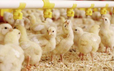 Nourrir ses poussins de 0 à 8 semaines d'âge
